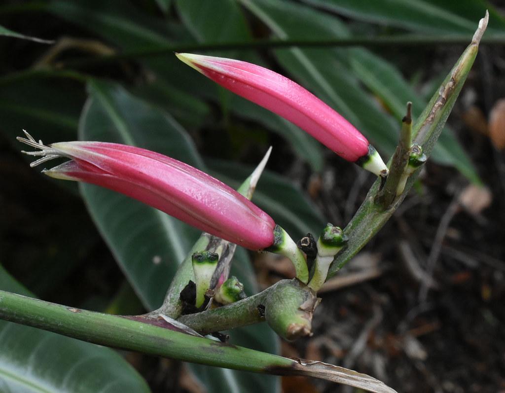 Heliconia metallica, Flecker Botanic Garden, Cairns, QLD, 12/10/20