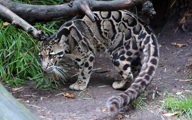 clouded leopard Ouwehand 9K2A8765