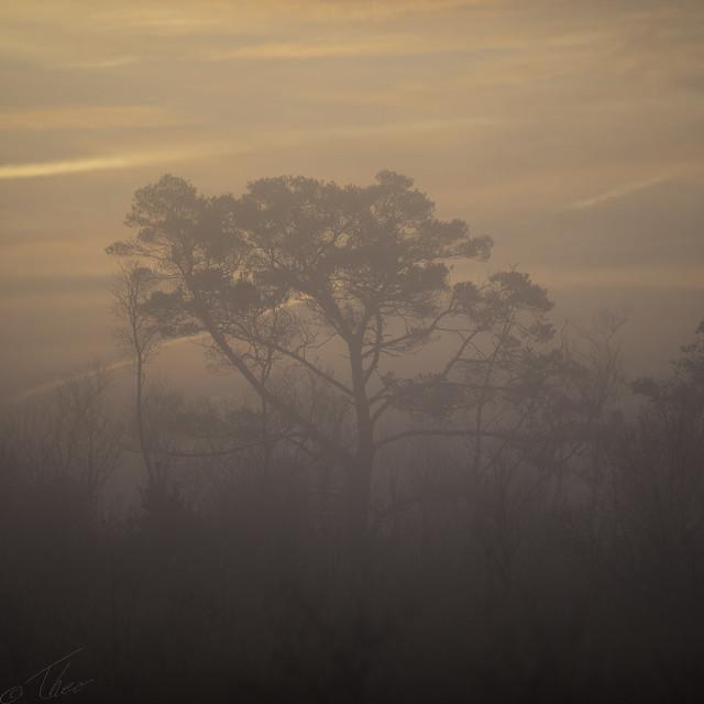 Pine at sunrise