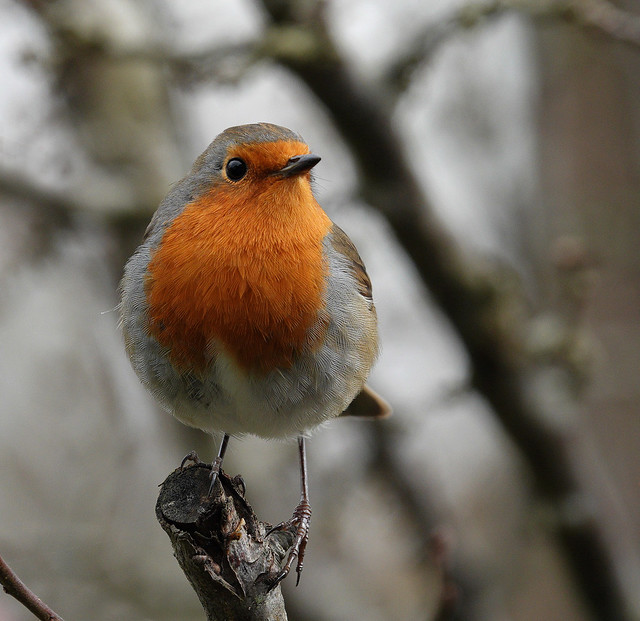 366 - Image 323 - Robin...