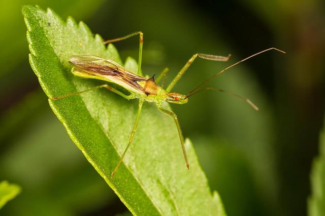 Pale Green Assassin Bug - Zelus luridus