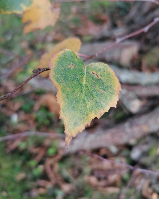 Feuille d'automne cardioïde
