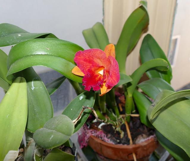 Cattlianthe Hazel Boyd 'Tropical Fantasy' hybrid orchid