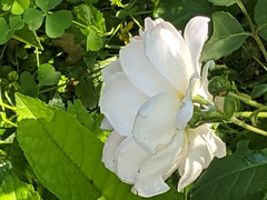 White rose, side view