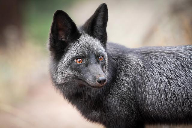 Silver Fox in the wild