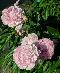 The luxury of peonies