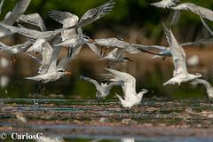 Charrán Real, Royal Tern (Thalasseus maximus)  Royal-5559