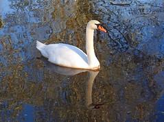 A swan in the lock, Little Baddow