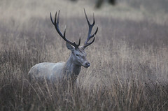 White Stag in Rushes