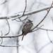 Variegated Flycatcher (Empidonomus varius)