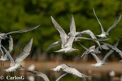 Charrán Real, Royal Tern (Thalasseus maximus) Royal-5561