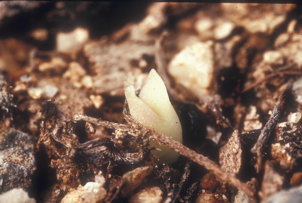 CSY Slides 1730- Saguaro sprout