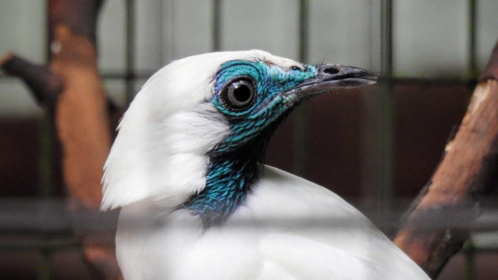 Araponga - Bare-throated Bellbird