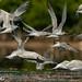 Charrán Real, Royal Tern (Thalasseus maximus)  Royal-5560