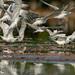 Charrán Real, Royal Tern (Thalasseus maximus)  Royal-5557