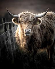 Highland Beauty!