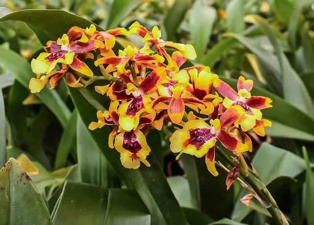 Oncidesa Hwuluduen Chameleon; Orchidaceae (1)