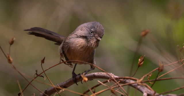 Wrentit  Solstice Canyon Southern California_ 072