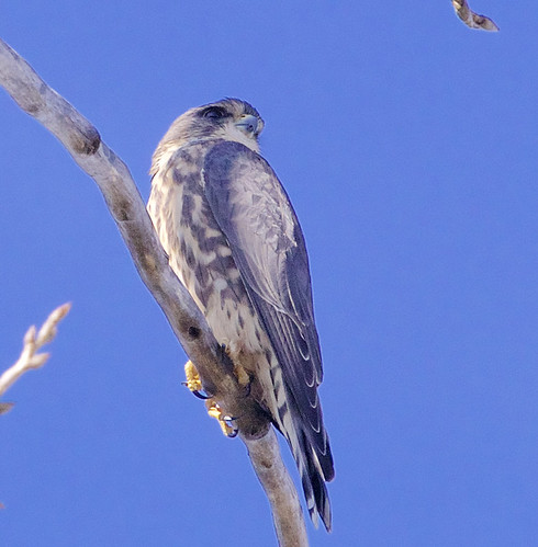 Merlin - Webster Park - © Jeanne Verhulst - Nov 09, 2020