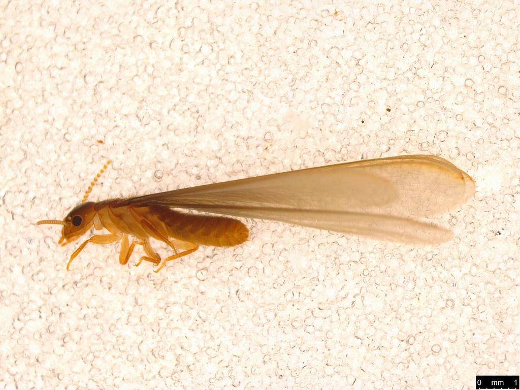 4a - Termitoidae sp.