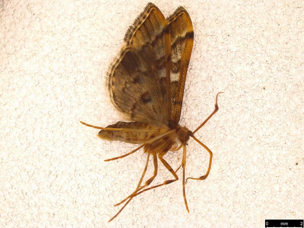 8 - Nacoleia rhoeoalis