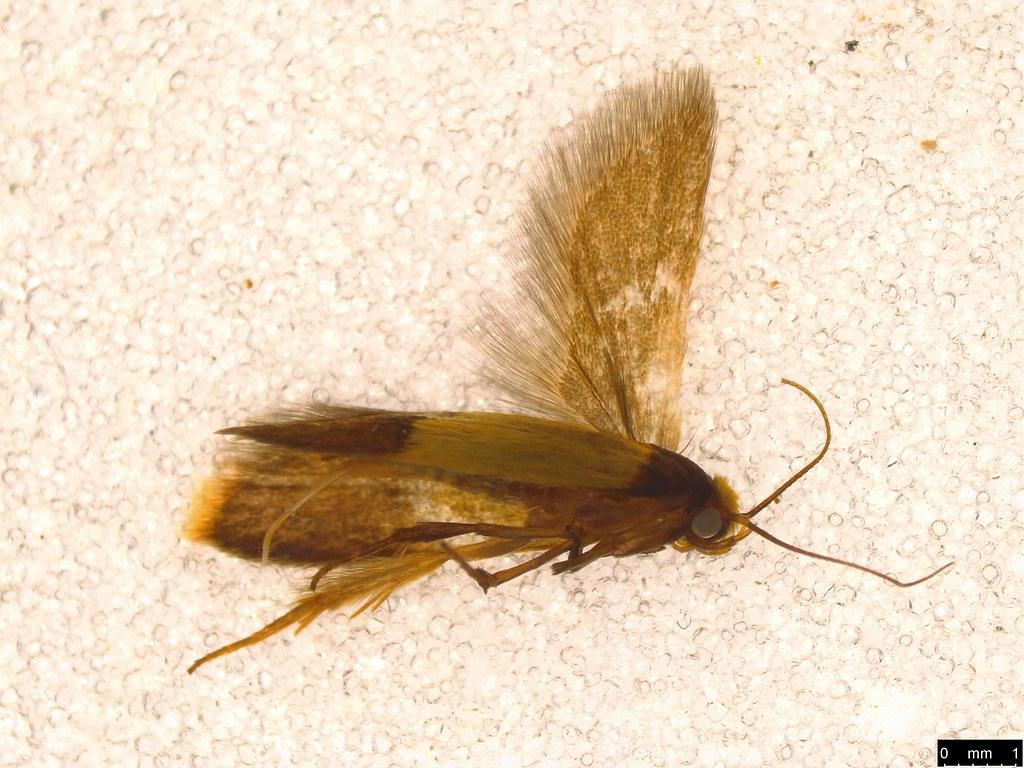 9 - Oecophorinae sp.