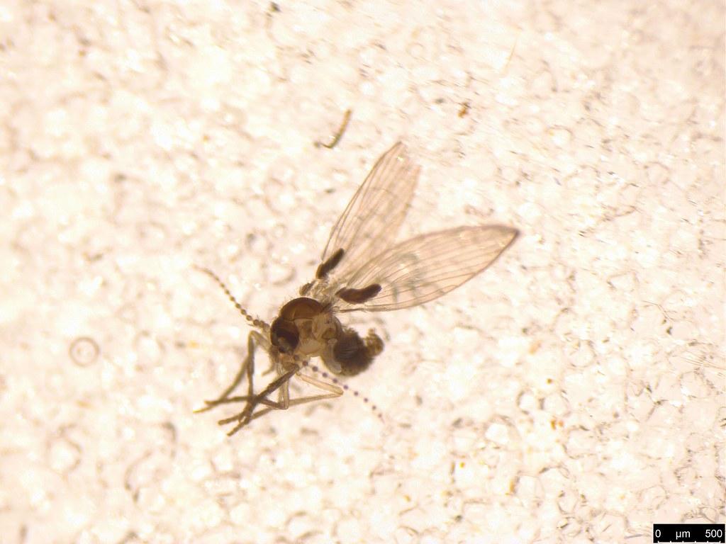 13a - Psychodidae sp.
