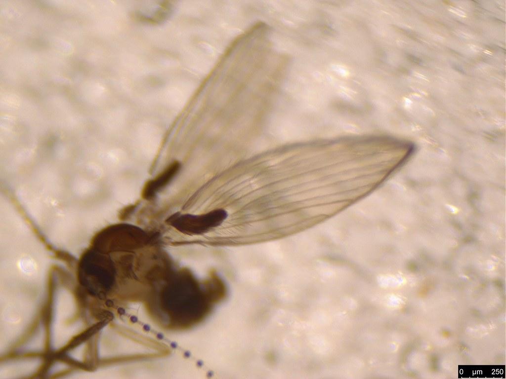13b - Psychodidae sp.