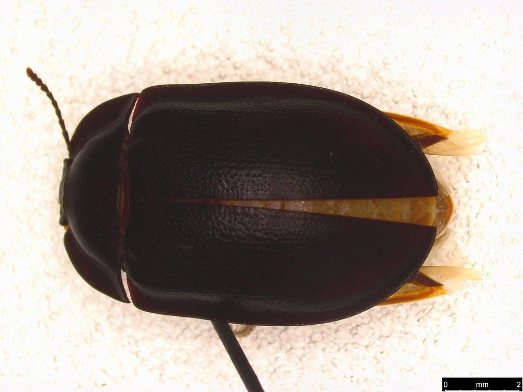 15a - Pterohelaeus striatopunctatus