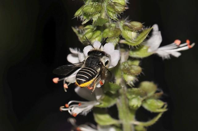 African Carder bee Pseudanthidium repetitum