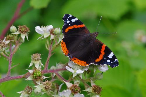 cambridgeshire vanessaatalanta waresleywood butterfly insect nature redadmiral wild wildlife