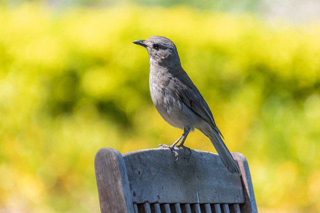 Grey Shrike-thrush on top of a wooden chair