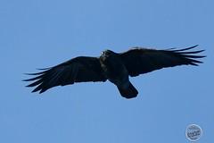 Corneille noire - Corvus corone - Carrion Crow : IMG_2821_©_Michel_NOEL_2020_Lac-Creteil
