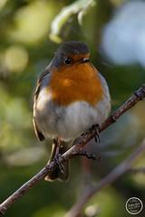 Rougegorge - familier Erithacus rubecula - European Robin : IMG_2817_©_Michel_NOEL_2020_Lac-Creteil