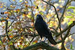 Corneille noire - Corvus corone - Carrion Crow : IMG_2711_©_Michel_NOEL_2020_Lac-Creteil