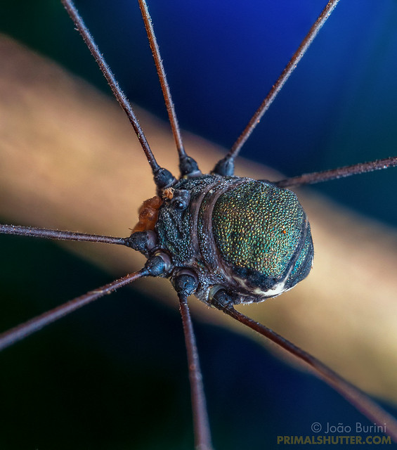 Sclerosomatidae, Gagrellinae