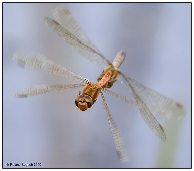 Coming at you - Common Darters dragonflies  in tandem
