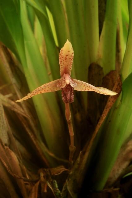Maxillaria foetida
