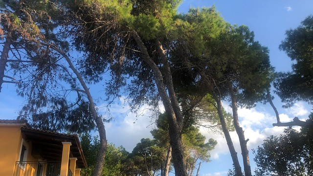 Lofty Pines