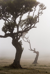 Mother and baby tree in the Fanal forest