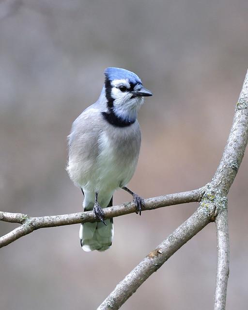Toronto Blue Jay
