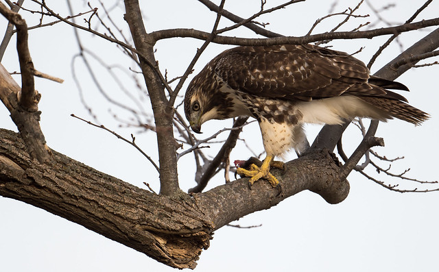 Red-tailed Hawk, Buse à Queue Rousse, Aguililla Cola Roja / Buteo jamaicensis *