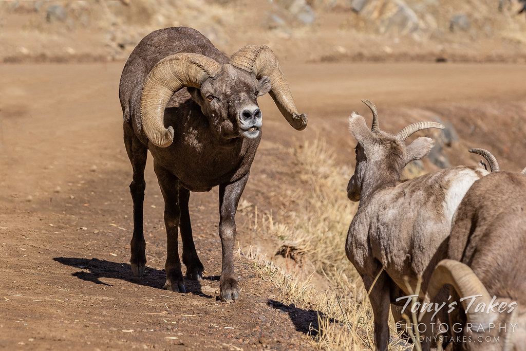 Bighorn sheep ram checking out the ladies