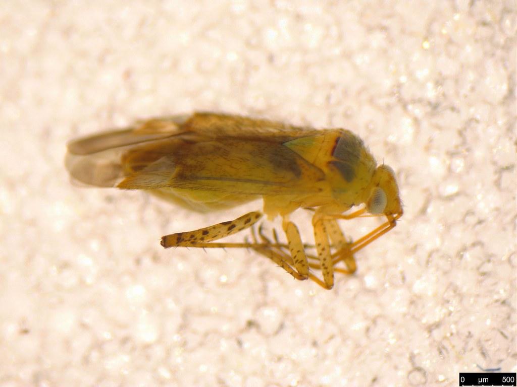 6a - Miridae sp.