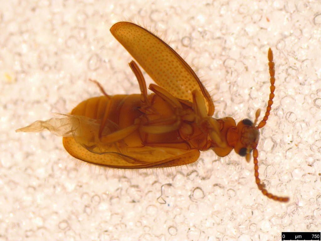19b - Pseudotomoderus sp.