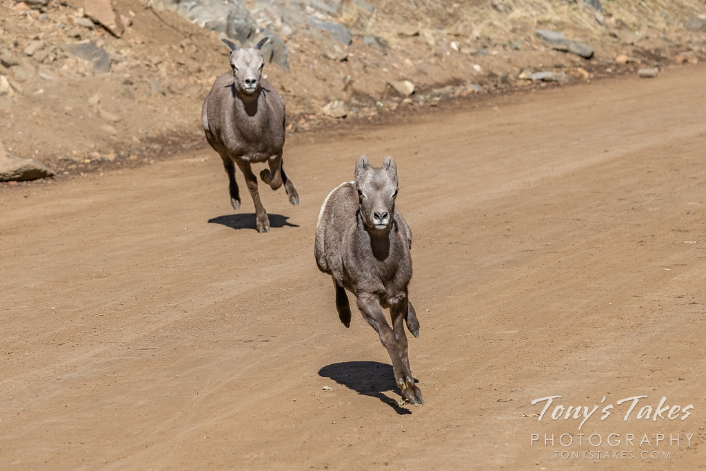 Bighorn sheep lambs play a game of chase in Colorado. (© Tony's Takes)