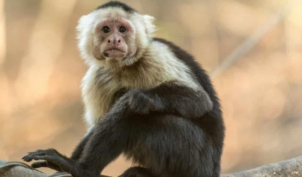 Des singes capucins ont mangé un jeune