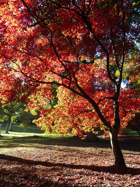 Maple, Winkworth Arboretum, Surrey