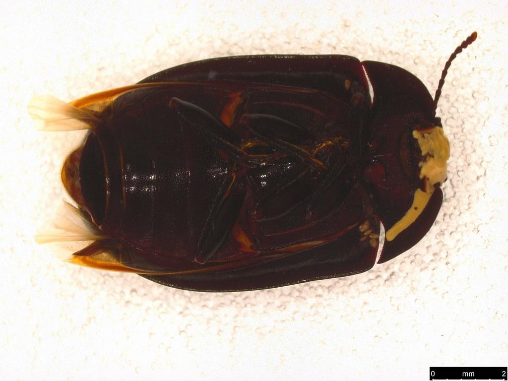 15b - Pterohelaeus striatopunctatus