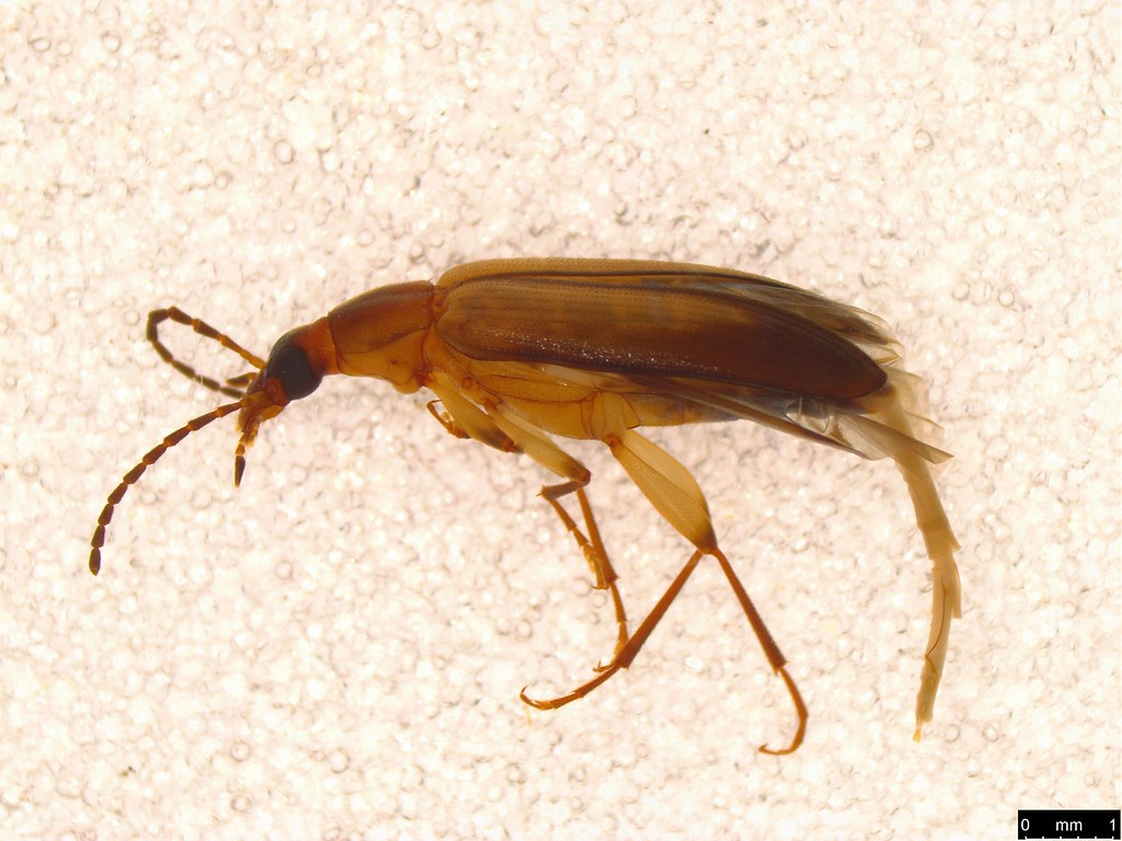 16a - Euomma lateralis